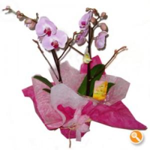 Phalaenopsis Cor de rosa