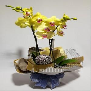 Orquídea Amarela Natal