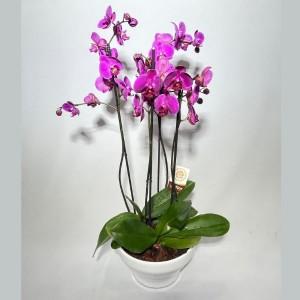 Taça de orquídeas Pink