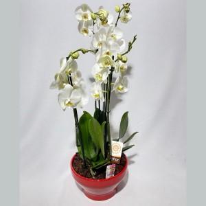 Taça de orquídeas Elegância