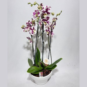 Taça de orquídeas Fascínio