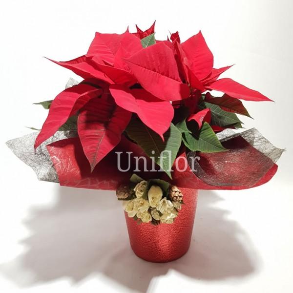 Planta do Natal Poinsétia