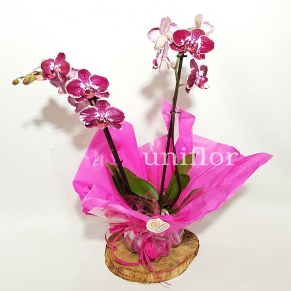 Vaso de Orquídeas Bordeaux